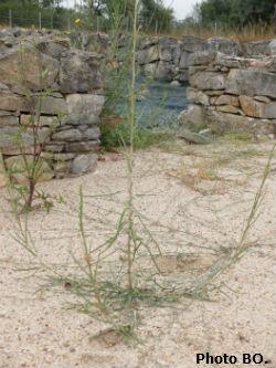 Ceci est une photo des mauvaises herbes à la villa romaine de Rabaçal (Portugal, région centre, en juillet 2018.)